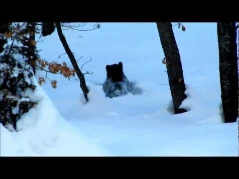 Incontro ravvicinato con un cinghiale in mezzo alla neve (wild boar in the snow,wildlife)