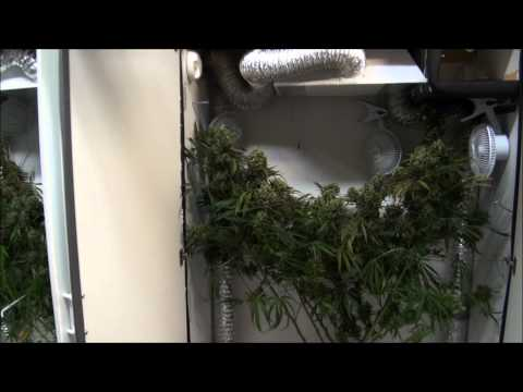 Weed Growing Closet - 1 Week from Harvest!  Growing Marijuana Indoors!