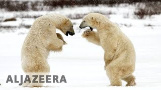 Melting Arctic: Hungry polar bears threaten tourist town in Canada - ALJAZEERAENGLISH