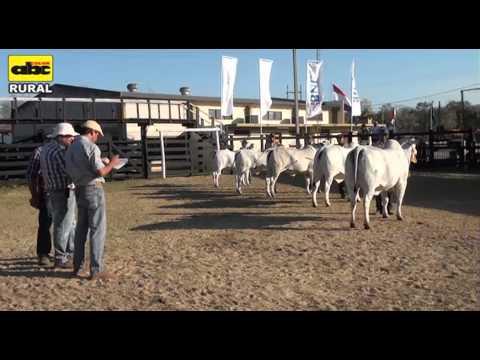 Calidad del ganado en la Expo Norte 2013 y Exposición Nacional Nelore