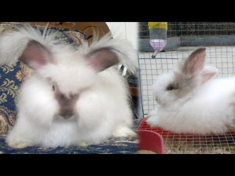Ternak Kelinci - Cara Merawat Kelinci Anggora