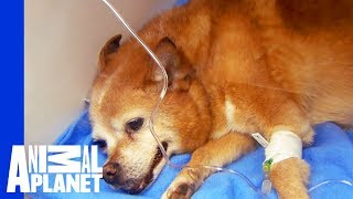 Dr. Jeff Gets Dog's Heart Beating Again | Dr. Jeff: Rocky Mountain Vet - ANIMALPLANETTV
