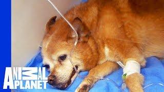 Dr. Jeff Gets Dog's Heart Beating Again | Dr. Jeff: Rocky Mountain Vet - ANIMALPLANETTV