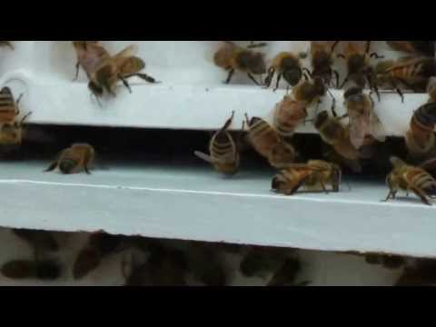 Beekeeping 101 - How to - Smoker and bee HIVE INSPECTION