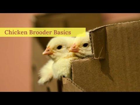 Chicken Brooder Basics