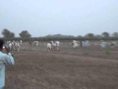 Bull Race In Kunri Sindh Pakistan