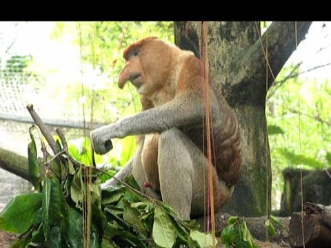 Proboscis monkey - zoo sex-simbol. Носач - секс символ Сингапурского зоопарка.