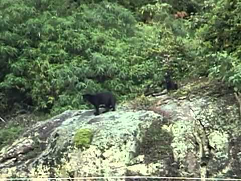 two black panthers filmed in India