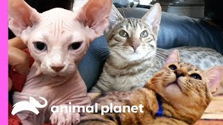 3 Insanely Cute Feline Companions | Cats 101 - ANIMALPLANETTV