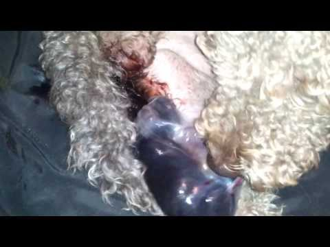 Labradoodle Puppy LIVE Birth - Whelping - GRAPHIC CONTENT WARNING