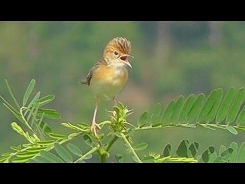 Birdwatching in Chiang Mai - Thailand