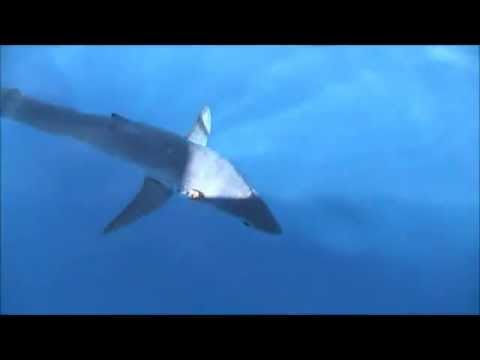 Booby Trap 21 Swordfish in a trip and Mako attacks Daytime Swordfish