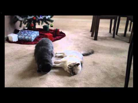 Our kitties wrestling by the Christmas tree