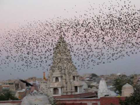 Flocking Behavior of small birds