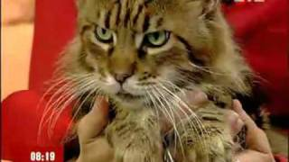 Питомник «Bartalameo UA» предлагает котят породы Мейн Кун