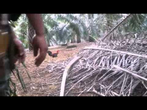 Ayam hutan HERO Kampong 1