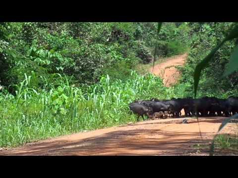 Porcos do mato Queixadas