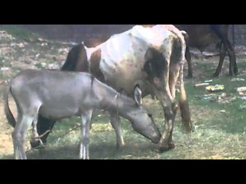 Donkey And Cow Owning Each Other - VidoEmo - Emotional Video Unity