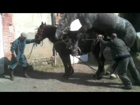 Horse Mating Huge Stallion