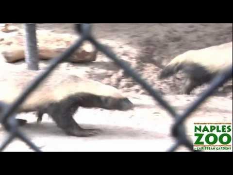 The Crazy Nastyass Honey Badgers of Naples, FL (Original narration by Randall)