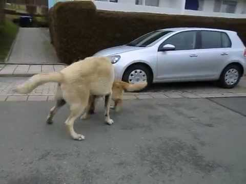 Kangal vs Golden Retriever sex play fight HUNDESEX  EFE Bayreuth