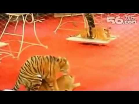Tiger knocks lion off pedestal during circus performance to mate with her angers trainer.