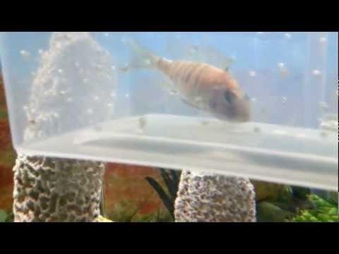 African cichlid females holding eggs DIY breeding pt1