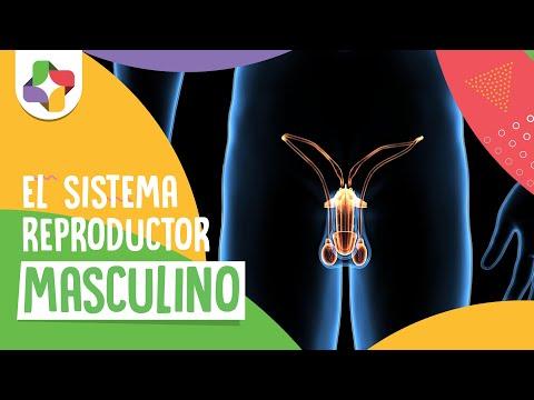 Sistema reproductor masculino - Biología - Educatina