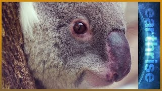 🐨 Life in the urban jungle: Can Australia save its koalas? - earthrise - ALJAZEERAENGLISH