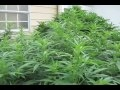 Medical Marijuana Grow Outdoor