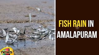 Fish Rain In Amalapuram Due To Cyclone Phethai | Pethai Cyclone Latest Updates | Mango News - MANGONEWS