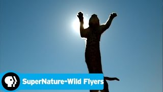 SUPERNATURE - WILD FLYERS | Caracals | PBS - PBS