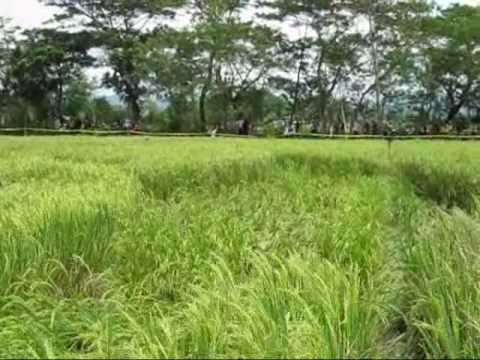 The FIRST CROP CIRCLE UFO in INDONESIA