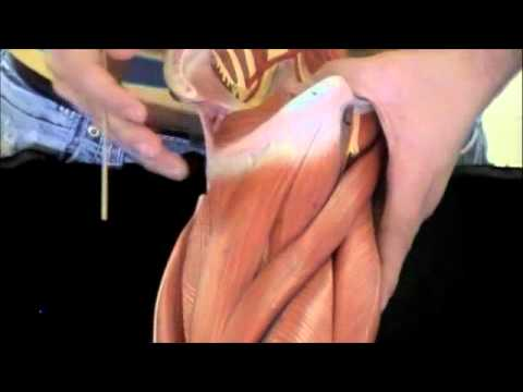 Muscles of the Pectoral Girdle, Arm, Thigh, and Leg