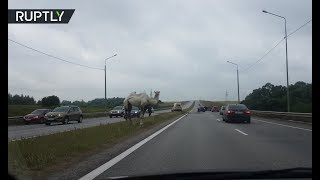 Dashcam: Camel chaos on Moscow motorway - RUSSIATODAY
