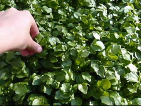 Edible Plant: Watercress