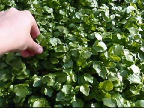 Edible Plant: Watercress