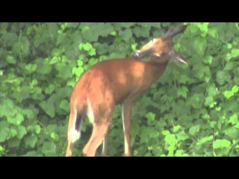 Deer in Hoboken