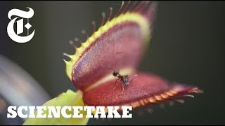 Venus Flytraps Use Internal Stopwatch to Capture Prey | ScienceTake - THENEWYORKTIMES