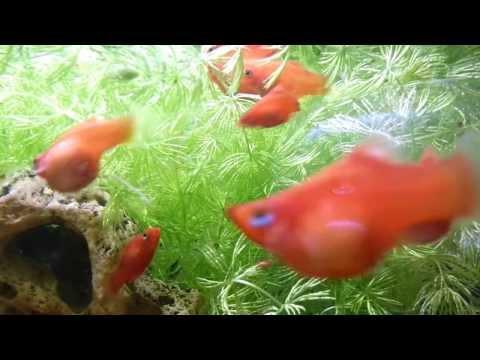 2014年1月18日 紅球雌魚生產魚仔 雄魚在旁趁機交配 Platy Fish Gives Birth & Mating.