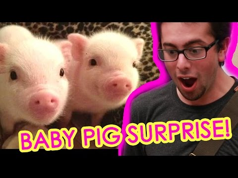 Guy Gets Surprised With Tiny Pigs