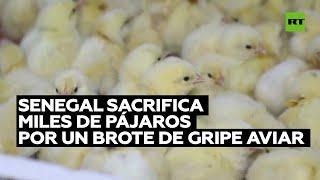 Senegal sacrifica miles de pájaros por un brote de gripe aviar