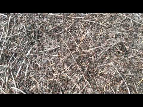 Crazy Ant Hill you can Hear in the Forest