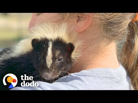 Woman Takes In Injured Little Skunk And Raises Him As Her Baby   The Dodo
