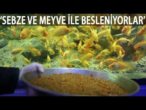Dev Akvaryumdaki Balıklar, Sebze Ve Meyve Karışımıyla Besleniyor