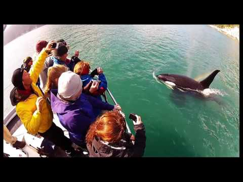 Orca Whale in Gulf of Alaska