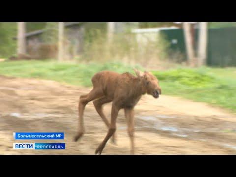 Необычная история с добрым завершением: новорожденного лосенка нашли в селе Новом