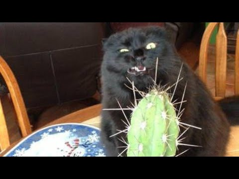 connectYoutube - Funny BLACK cat video compilation  -  It's HARD to Hold your LAUGH