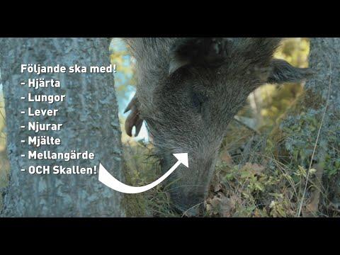 7. Vildsvinets röda organ - Så tar du hand om viltet efter skottet