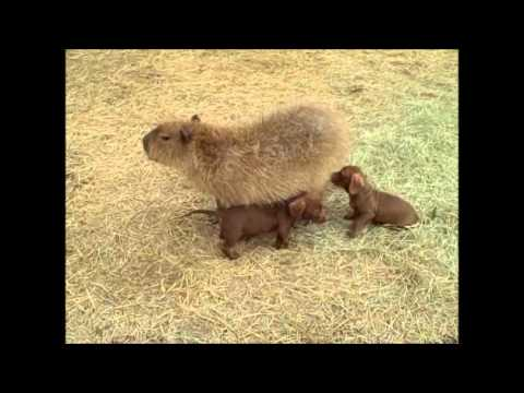 Cheesecake The Capybara And Her Adopted Pups